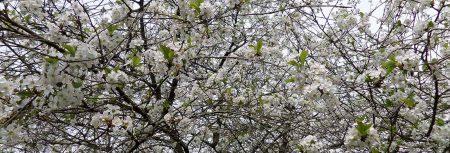 Cerisier en fleurs à St Mars de Coutais