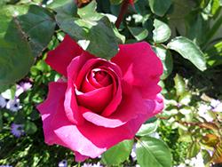 Rose Pornic St Mars de Coutais - Pays de Retz