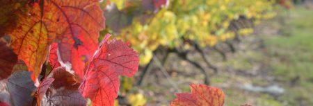 Vigne à l'automne - St Mars de Coutais